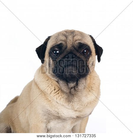 Pug sandy color thinking portrait isolated on white background