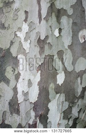 Bark of platan. Natural close-up detailed tree texture for background.