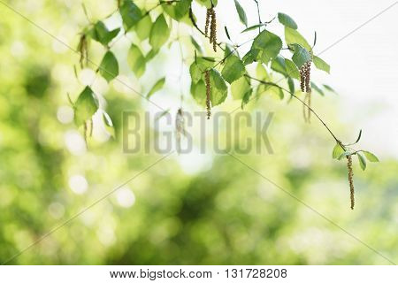birch leaves with catkins in sunny spring day, shallow focus
