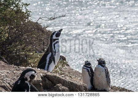 Magellanic Penguins very early morning at Natural protected area Peninsula Valdes Patagonia Argentina