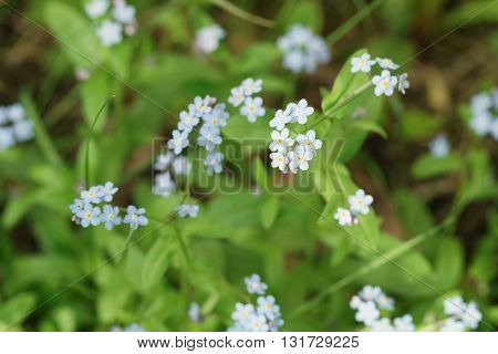 forget me not flowers in spring sunny day, shallow focus