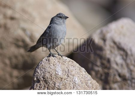 Male Plumbeous Sierra-Finch (Phrygilus unicolor) standing on a rock on the altiplano in Lauca National Park, northern Chile.
