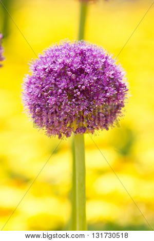Inflorescence of giant onion (Allium Giganteum) against bright background