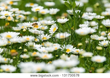 daisy flowers in nature. attractive daisy flowers  landscape.