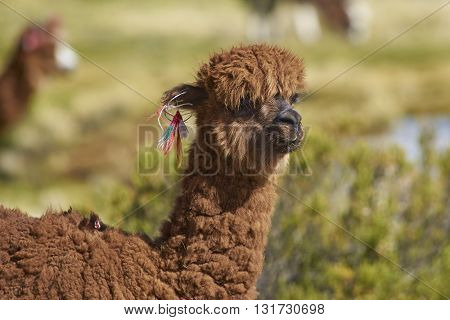 Portrait of an alpaca (Lama pacos) on a wetland in Lauca National Park, northern Chile.