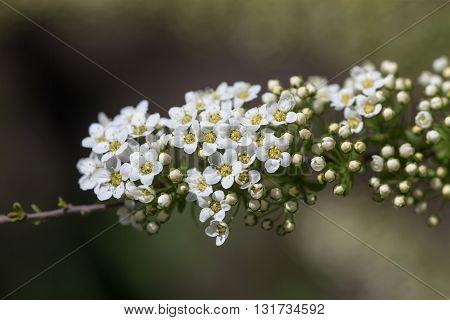 branch blooming white spiraea in spring closeup