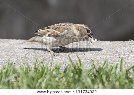 Sparrow Eating A Piece Of Bread