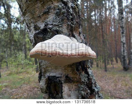 The mushroom a tinder fungus grows on a birch. It destroys a tree.