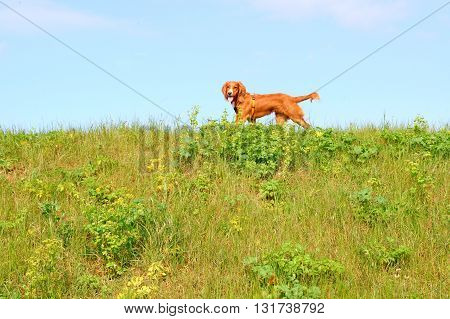 Cocker spaniel dog walks on a horizon
