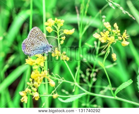 Blue gray moth and yellow flowers in summer