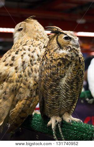European eagle owl or called Eurasian eagle owl