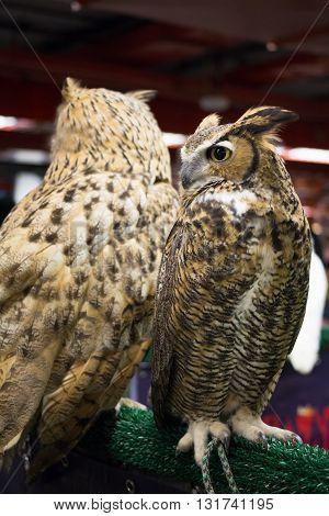 both of European eagle owl, eye look