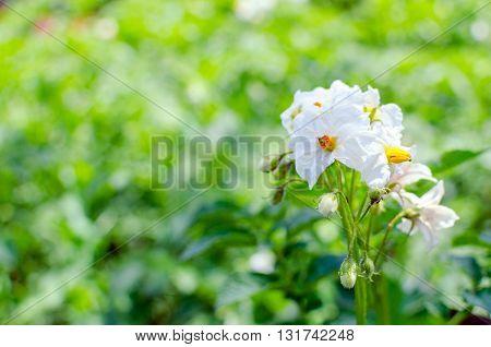 white flowers of potato in the garden