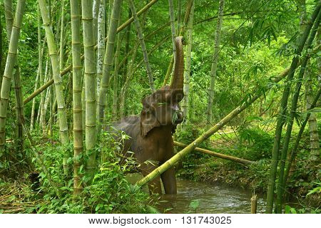 forest elephant in semi-freedom in Southeast Asia, eating bamboo in the river