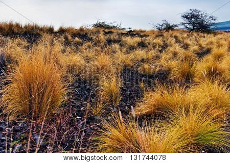 Landscape with bushes of grass on volcanic soil in gloomy weather. Big Island . Hawaii. USA