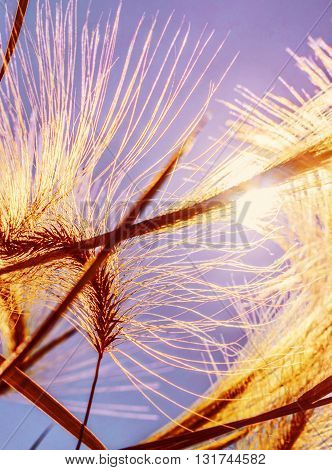 Nice spikelets grass in bright gold sunlight