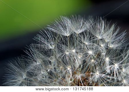 A close up of water drops on Dandelion seeds shallow depth of field.
