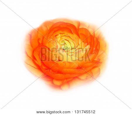 Orange flower of ranunkulus isolated on white
