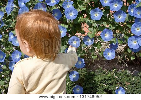 A red-haired child looks at  blue morning glory in a garden