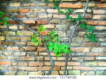 OLD WEATHERED CEMENT BLOCK WALL WITH CLIMBING PLANT