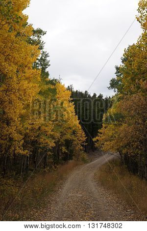 Moody Hills Trail in the Fall with Aspens changing color in Colorado High Country.