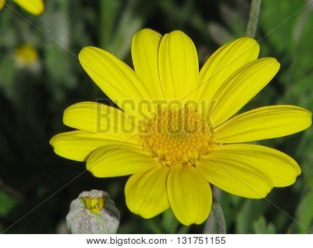 Yellow Spring Flower Cape Town South Africa 04
