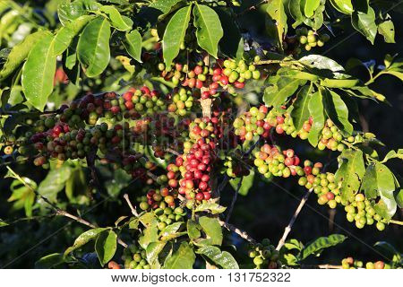 Coffee tree with coffee bean on cafe plantation