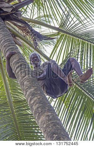 ZANZIBAR TANZANIA - JUNE 18: a man climbs with bare feet a coconut palm tree to gather the ripe coconuts on June 18 2013 in Zanzibar. They use a rope between bare feet to climb smooth trunk of palms