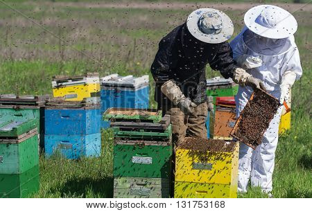 horizontal front view of two beekeepers in protection suit checking the honey combs with bees swarming around