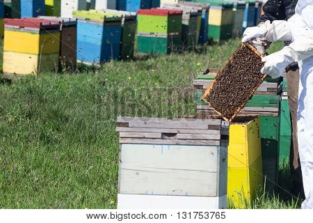 horizontal front view of a beekeeper in a protection suit checking the hony combs with bees swarming around
