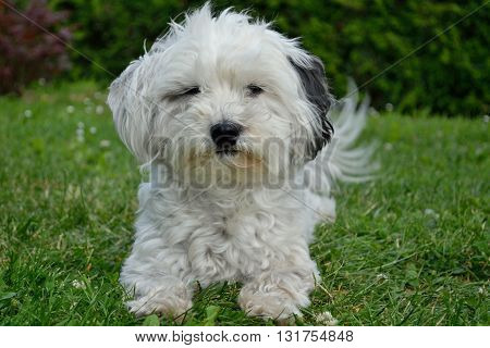 white Havanese is comfortable in the meadow