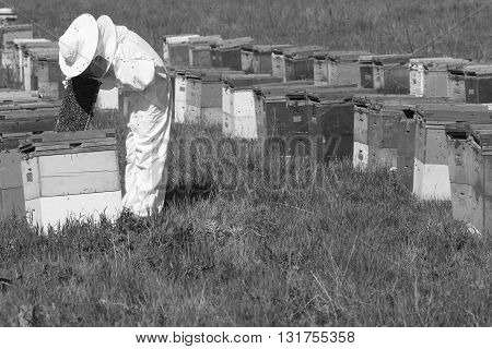 horizontal side view of a beekeeper in a ehite protection suit checking the honey comb in the hive