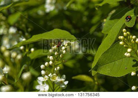 ladybug on white flowers on a wild cherry bush
