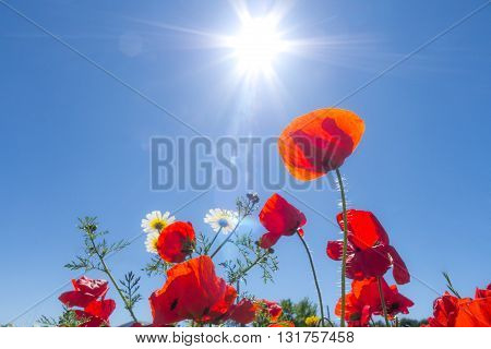 red poppy flowers, landscape in a sunny day