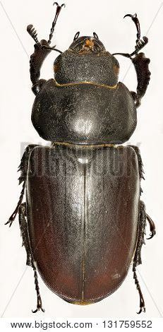 The stag beetle on white Background  -  Lucanus cervus (Linnaeus, 1758)