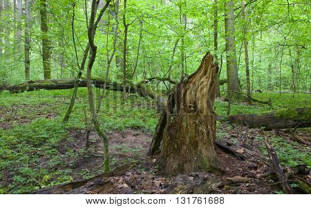 Partly declined stump in front of deciduous trees inside deciduous springtime forest, Bialowieza Forest, Poland, Europe