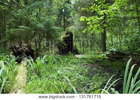 Marshy natural coniferous stand with Sweet Flag in foreground and broken almost declined trees in background, Bialowieza Forest, Poland, Europe