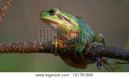 Tree frog(Hyla arborea) closeup in sunset sun