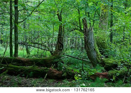 Late summer forest landscape with broken trees strictly nature protection area, Bialowieza Forest, Poland, Europe