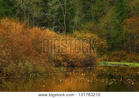 a picture of an exterior Pacific Northwest willow tree on the shoreline in fall.