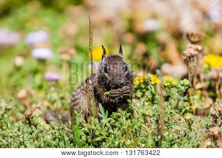 California ground squirrel (Otospermophilus beecheyi) is gnawing wild flowers.
