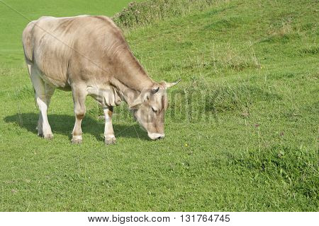 Cow grazing on tranquil green alp grassland