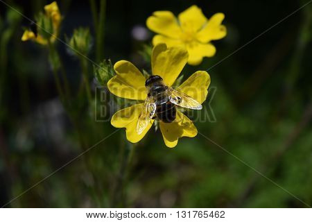 Bee collecting nectar from the yellow flower in the mountains of Albania.