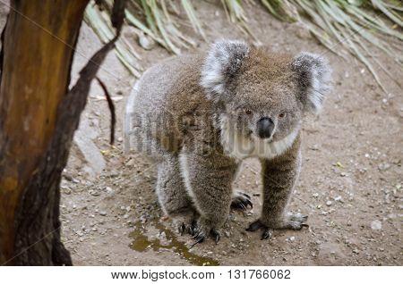 the koala is walking on the ground