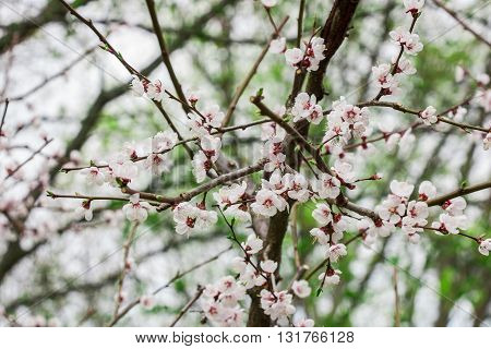 Cherry blossom branch in forest in spring