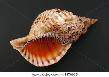 Sea Shell Closeup