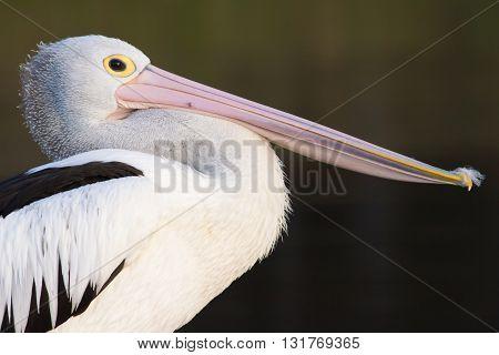 Portrait of an Australian Pelican (Pelecanus conspicillatus)