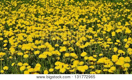 Flowering yellow dandelions on a green lawn in May