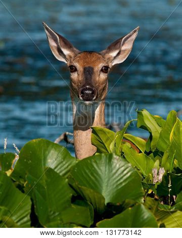 A pregnant female deer in the marsh at Sandy Ridge