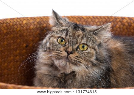 Close up of cute brown tabby persian cat in wooden basket on white background isolated.